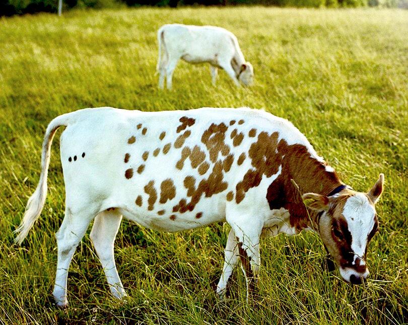 Ko betar på äng