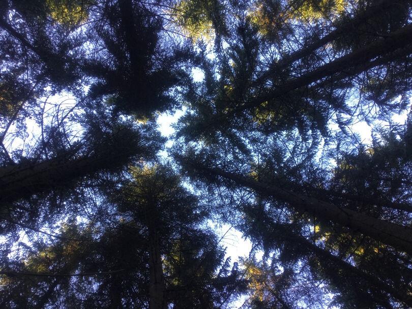 Skog som behöver gallras